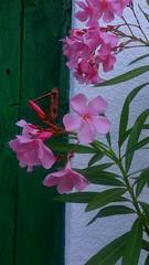 Garden detail (Misa Lazic) Tags: garden oleander flovers gornjimilanovac velere