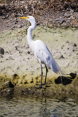 Great egret (satoshikom) Tags: campbell losgatos greategret losgatoscreektrail canoneos60d canonef100400mmf4556lisiiusm