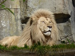 In Ouwehands dierenpark. Credo de witte mannetjesleeuw. (Fijgje On/Off) Tags: male netherlands animal zoo utrecht lion nederland dier rhenen dierentuin leeuw ouwehandsdierenpark mannetje fijgje panasonicdmctz60 juli2016 credodewittemannetjesleeuw