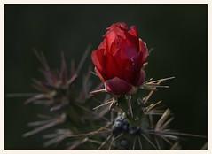 Staghorn Cholla Cactus (gauchocat) Tags: arizonasonoradesertmuseum tucsonarizona