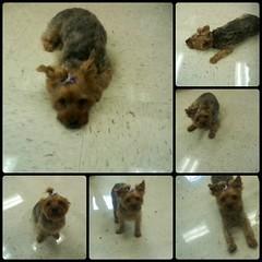 Ella Collage (Heartlover1717) Tags: ella notmydog morecaninetherapy