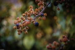 Blackberry Beret (RexJAdams) Tags: helios444 helios bokehlicious swirlybokeh blur fruitsalad blackberry fujixseries fujixfamily fujifeed colour pop