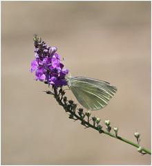 Small White (jenny*jones) Tags: 2097 smallwhite pierisrapae pieridae lepidoptera europeanbutterfly whitebutterfly canon westyorkshire gtbritain summer2016 floer purpleflower
