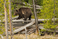 A walk on the woods {Explored} (ChicagoBob46) Tags: explore explored grizz grizzly grizzlybear bear yellowstone yellowstonenationalpark nature wildlife