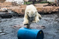 3O4A2403 (zcmcclary) Tags: louisvillezoo bear barrel midair action polarbear animal wild