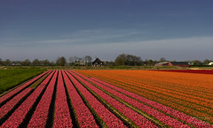 ND5_1981_Lr-edit (Alex-de-Haas) Tags: bloemenbijeenkomst dutch holland lowcountries nederland noordholland thenetherlands westfrieseomringdijk avond beautiful bloemen bloemenvelden colorful colors colourful colours evening flat flower flowerfields kleuren kleurrijk laagland landscape landschap lente licht light mooi nature natuur plat polder spring sun sunny tulipfields tulipa tulips tulpen tulpenvelden westfriesedijk zon zonnig
