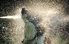 Summer shower (plant.wendy) Tags: dog bordercollie border collie black white summer sun sunshine water wet drops hose backlight ray fun pet home green grass garden nice day
