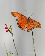 Autumn In my garden (Ollie girl) Tags: gulffritillary easyliving butterfly rose zinnia backyard home nature salvia