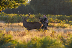 Mind the Photographers!! (paulinuk99999 - just no time :() Tags: paulinuk99999 red deer rut stag bushy park sunset setting sun curious sal70400g