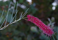 Grevillea oligomera, Kings Park, Perth, WA, 16/08/16 (Russell Cumming) Tags: plant grevillea grevilleaoligomera proteaceae kingspark perth westernaustralia