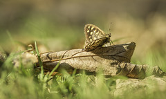 Sunbathing.... (GPC- photos) Tags: butterfly leaves insect sunbathing sun light leaf grass canon700d tamron90mm macro