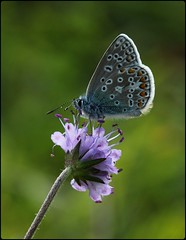 Male Common Blue on Devilsbit Scabious II (glostopcat) Tags: commonbluebutterfly butterfly insect invertebrate glos wildflower devilsbitscabious butterflyconservation prestburyhillnaturereserve