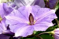 Purple in the way (HSOBERON) Tags: flower hsoberon iphone hernan soberon endor inc norebos se iphonese hernansoberon endorinc envigado color purple flor macro camera