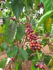 """Café Arabica prêt à être ramassé <a style=""""margin-left:10px; font-size:0.8em;"""" href=""""http://www.flickr.com/photos/83080376@N03/15333695133/"""" target=""""_blank"""">@flickr</a>"""