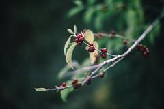 Sustenance (jrobfoto.com) Tags: winter red berry raw f14 sony fullframe facebook canonfd50mmf14 danada twitter gplus 500px a7r tumblr