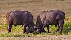 Tanzania '12_2858 (Jimmy Vangenechten 76) Tags: africa animal geotagged tanzania nationalpark wildlife safari afrika np ngorongorocrater dier capebuffalo bigfive synceruscaffer africanbuffalo kafferbuffel ngorongorokrater afrikaansebuffel grotevijf geo:lat=317235655 geo:lon=3550118445