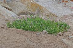 CAC009490a (jerryoldenettel) Tags: flower searocket wildflower brassicaceae pointpinos 2014 cakile cakilemaritima rosids montereyco brassicales europeansearocket