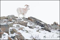 Dall Sheep (Ovis dallis) (Jflo75) Tags: nature alaska sheep mammals range dall brooks