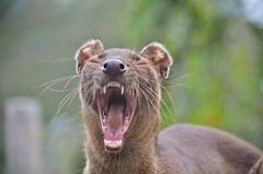 All teeth and whiskers.... (stavioni) Tags: animal zoo wildlife teeth whiskers marwell carnivore fossa