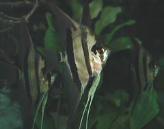 Pterophyllum scalare (freshwater angelfish) 1 (James St. John) Tags: angelfish freshwater scalare pterophyllum