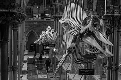 Flying Fish? (Cathy G) Tags: skeletons whales dolphins museum oxford pittrivers bw hanging canon canon7d canon40mm oxfordmuseumofnaturalhistory