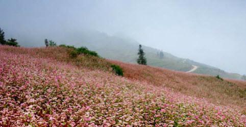 Ảnh 1 - Trước đây, hoa tam giác mạch là một loại lương thực phổ biến