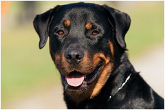 The Rottweiler (SergeK ) Tags: dog chien brown black canon noir large rottweiler calm domestic medium breed alert confident brun devoted fearless steady courageous 200mm obedient goodnatured alerte selfassured courageux devoue confiant sergek