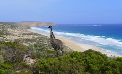 Arriving at West Cape Lighthouse, spotted this beautiful male emu, only to realise he was looking for his youngsters, the previous photos will show the story of how he found them... (The Pocket Rocket) Tags: male emu sanddune southaustralia yorkepeninsula dromaiusnovaehollandiae westcape