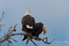 Female Bald Eagle makes some noise