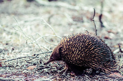 "echidna • <a style=""font-size:0.8em;"" href=""http://www.flickr.com/photos/44919156@N00/15880911831/"" target=""_blank"">View on Flickr</a>"