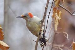 """Red Bellied Woodpecker • <a style=""""font-size:0.8em;"""" href=""""https://www.flickr.com/photos/60772232@N03/15890826982/"""" target=""""_blank"""">View on Flickr</a>"""