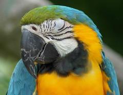 Macaw (Annette Rumbelow) Tags: park camera bird sony feathers preening safari wilson wiltshire macaw longleat annette rumbelow a550