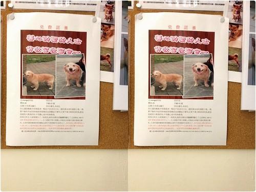 「認養」不知道那個縣市,12月5號要被棄養到收容所12歲的黃金獵犬Mango小姐~急徵中途或認養人~謝謝您~20141129