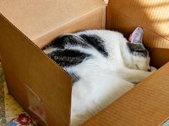 Cat-In-The-Box (thinduck42) Tags: sleeping pet cat feline nap box sleep relaxing snooze emptybox fz200