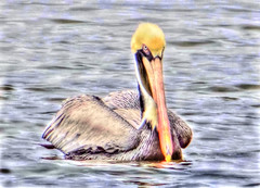 Brown Pelican-3 (Rifa21) Tags: brown fish bird feet water yellow bay duck wings fishing eyes long surf web sandy salt beak feathers large pelican pouch beaches throat costal lagoons stocky massivebill