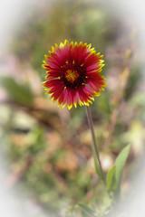 Gerbera (fuzzball5) Tags: red flower yellow gerbera wyoming tetons wy