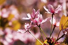 Cherry Blossom, Lohja 2 (jonikauppila) Tags: flowers flower suomi finland cherry spring cherrytree lohja kevät kukka kukat kirsikka kirsikkapuu