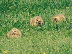 Spring babies (V and the Bats) Tags: birds animals fauna geese babies babygeese migratorybirds springbabies babygeeseinthegrass