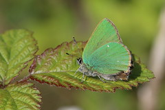 Green Sunshine (raggi di sole) Tags: england green nature wow butterfly insect outdoors surrey lepidoptera papillon mariposa farfalla bramble lycaenidae greenhairstreak callophrysrubi denbieshillside