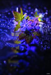 a dash of green (gshaun12) Tags: blue flower macro nature water bokeh fantasticnature macrodreams