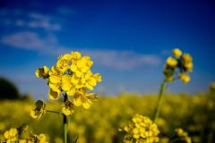Viewfinder-9 (sven.vansantvliet) Tags: blue shadow sky flower colors yellow fleurs jaune garden drops weide couleurs tuin schaduw geel bloem druppel tulp kleuren tullip paardebloem boterbloem pisbloem lentebloesembloemenbijhuis
