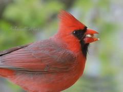 Having a snack (NaturewithMar) Tags: male bird cardinal northern