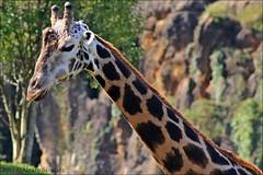 Parque de Cabrceno (Mantrize) Tags: naturaleza animals gorilla ostrich zebra avestruz animales giraffe hippo sealion santander cantabria cheeta gorila africanelephant adax whiterhino hipopotamo cebra cabrceno jirafa leonmarino elefanteafricano californiansealion rinoceronteblanco cantabriainfinita parquedecabrceno guepardos patagoniansealion parquedelanaturalezadecabrceno leonmarinodecalifornia leonmarinodelapatagonia