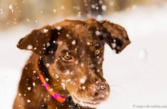 Snowy May (KB RRR) Tags: dog snow colorado rockymountains frontrange chocolatelabrador shyla