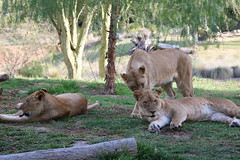 African lioness sisters (Thanks for over 7M views! Pix.by.PegiSue) Tags: california cats nature animal animals canon sandiego african wildlife ngc lion tourist bigcat gato wap felinos felines cubs wildanimalpark lioness cutecat exoticcats touristspot cuteanimals africanlion lioncamp africanlions africanlioness zoophotography exoticfelines visitsandiego animalesexóticos flickrbigcat sandiegozoosafaripark visitthezoo sdzsafaripark sandiegozooglobal pixbypegisue losgrandesfelinos wwwflickrcomphotospixbypegisue desanimauxexotiques
