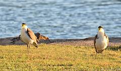 Masked Lapwing in the morning light (Merrillie) Tags: nature birds animals fauna photography nikon wildlife australia lapwing woywoy maskedlapwing d5500 nswcentralcoastnsw centralcoastnsw