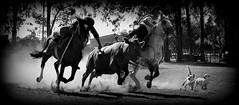 Com a cachorrada (Eduardo Amorim) Tags: brazil horses horse dogs southamerica brasil criollo caballo cheval caballos cattle ganado perros cavalos cachorros pferde cavalli cavallo cavalo gauchos pferd riograndedosul pampa hest chiens hevonen campanha brsil chevaux gaucho  amricadosul fronteira hst gacho  amriquedusud  gachos  sudamrica gado suramrica amricadelsur  sdamerika crioulo caballoscriollos criollos   bestiami btail americadelsud arroiogrande  crioulos cavalocrioulo americameridionale caballocriollo eduardoamorim cavaloscrioulos