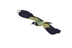 Lapwing (Lincolnshire Gordon) Tags: bird flight lapwing marsh moulton peewit