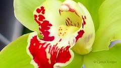 o r c h i d ( Graa Vargas ) Tags: orchid flower orquidea graavargas cymbidiumxhybridum cimbdio 2016graavargasallrightsreserved 22712120716