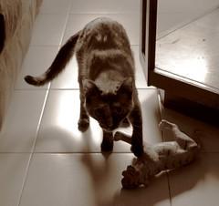 Victorius cat (Gurutx) Tags: animal cat toy felino gatita juguete animaldomstico